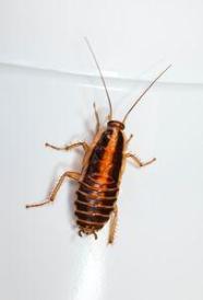 Отрова за хлебарки 1 - примамка