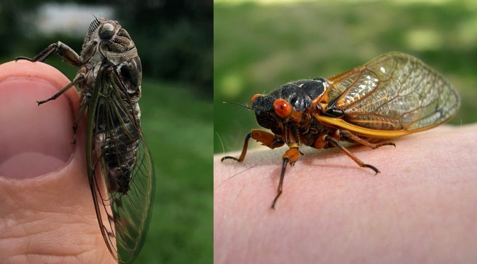 Cicada Mania in Wisconsin?…Not 'Til 2024