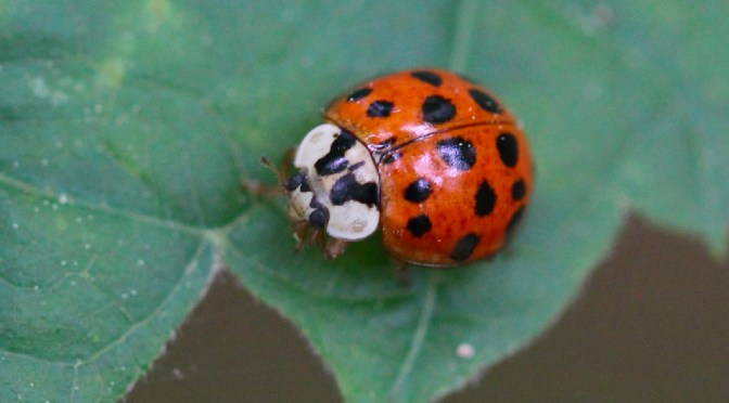 Busy beetles: lady beetles take to the air and our homes