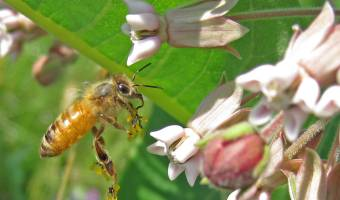 Milkweed and its sinister method of pollination