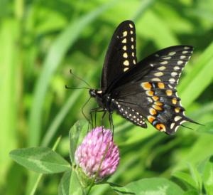blackswallowtailMA1a