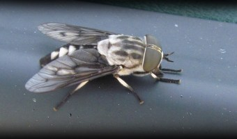 Horse Flies and Deer Flies