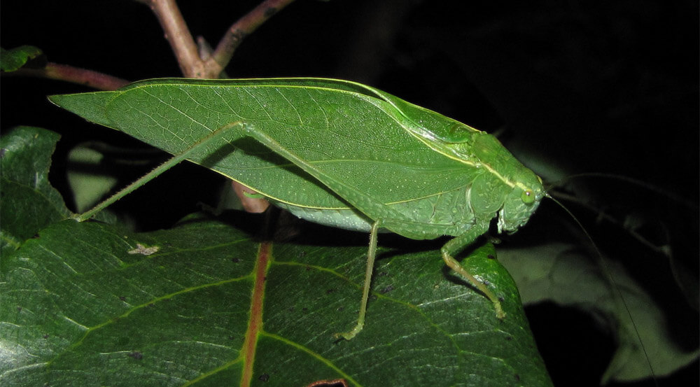 Night-Time Noisemakers: Singing Insects - After Bite