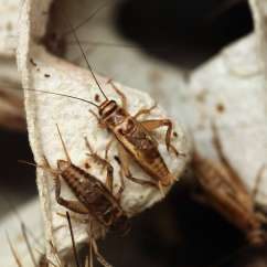 Cricket Life Cycle Diagram Wall Outlet Wiring Insects That Go Through Incomplete Metamorphosis