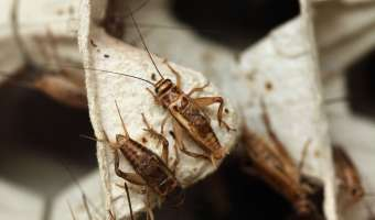 Common Household Pests:  House Crickets