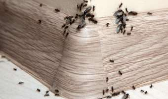 Common Household Pests: Ants