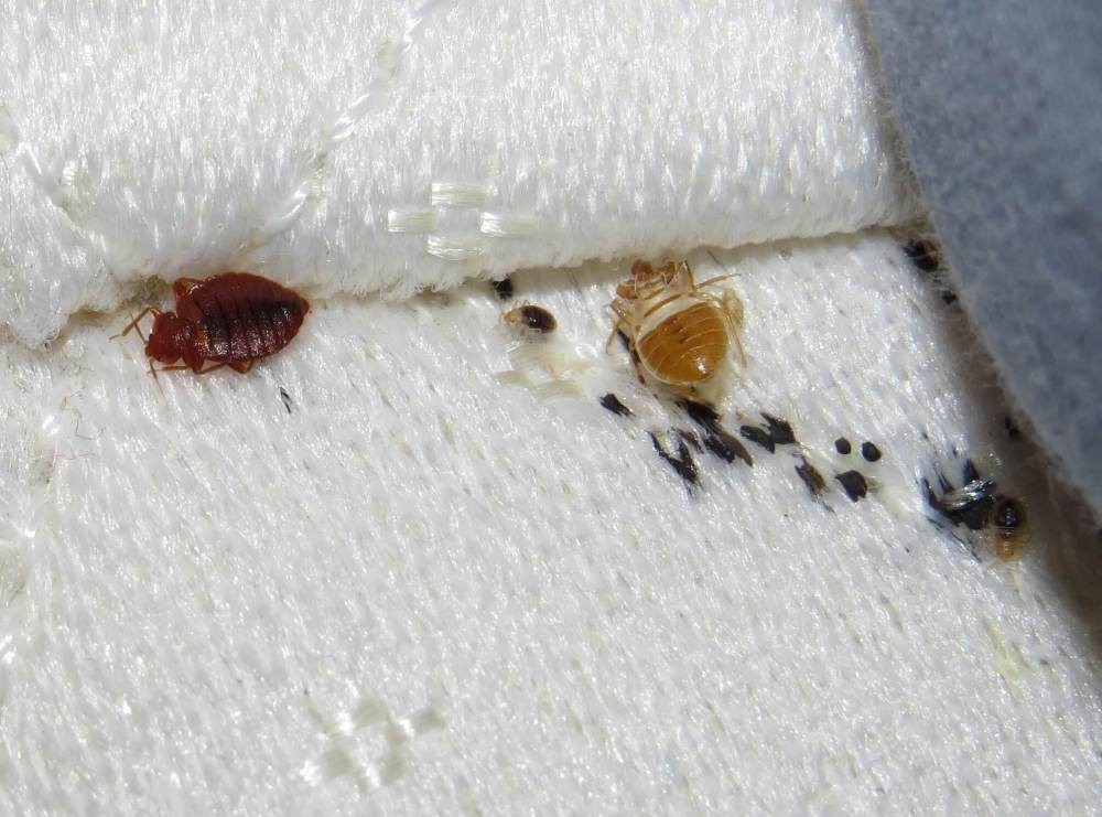new effective bed bug treatment shows promise after bite