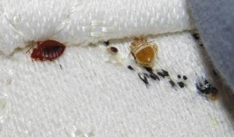 New & Effective Bed Bug Treatment Shows Promise