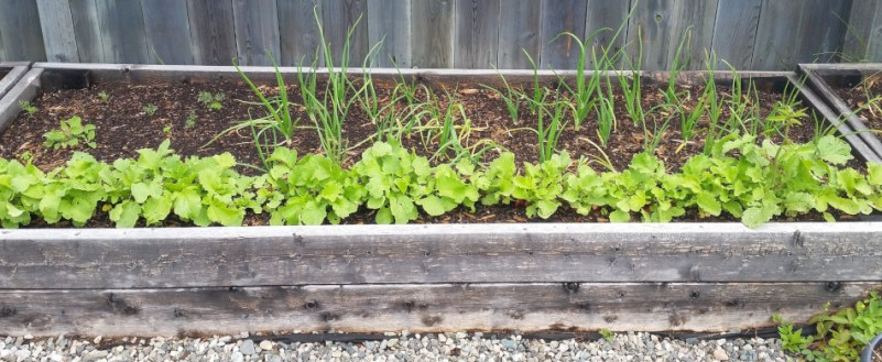 Garden update July 2019 - Radishes, onions and some herbs.