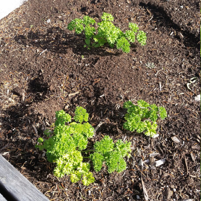 October garden update - moss curled parsley is still growing