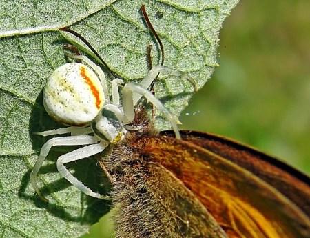Widzew 05.05.2010 Samica z apetytem wpiła się w ciało strzępotka Coenonympha pamphilus