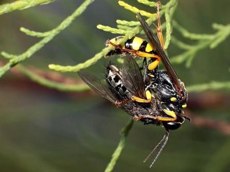 Rąbień 26.07.2012 Ta mucha została wyciśnięta jak cytryna - miodwa właśnie spija płyn wydobywający się z jej ryjka