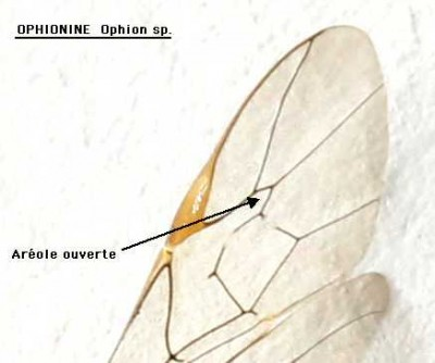 Ophionine-Ophion-areole