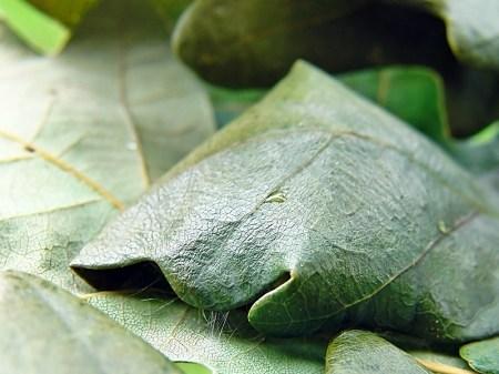 Widzew 07.09.2009 W tak zwiniętym liściu gąsienica przepoczwarcza się na zimę