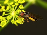 Widzew 30.07.2011 Samica - widoczne opylone czoło i żółte czułki