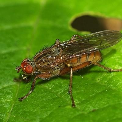 Scathophaga inquinata (Scathophagidae)