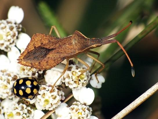 Widzew 04.09.2014 W towarzystwie Coccinula quatuordecimpustulata