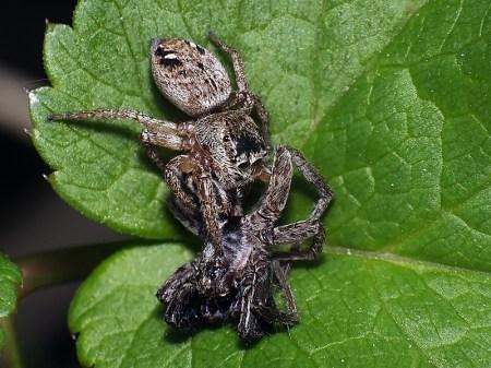 Młynek 22.04.2013 Samica schwytała pająka niezidentyfikowanego gatunku