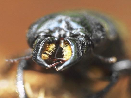 Kalwaria Pacławska 18.06.2009 Gęste włoski na wewnętrznej stronie żuwaczek służą do pobierania płynnego pokarmu Fot. Rafał Celadyn