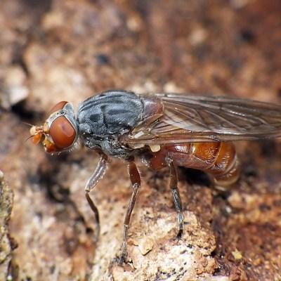 Brachyopa bicolor