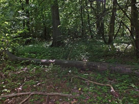 Las wiączyński 06.06.2015 Habitat - Samicę znalazłem na powalonym pniu