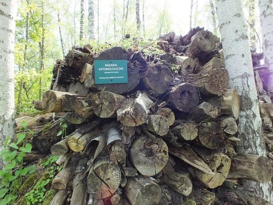 Kilka osobników obu płci latało wokół stosu drewna w ogrodzie - niestety w miejscu niedostępnym dla zwiedzających. Samice wchodziły głęboko w szczeliny między pniami, aby złożyć jaja