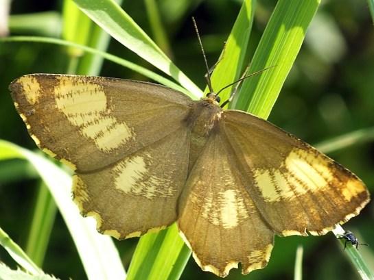 Bystre 22.07.2015 Forma barwna o częściowo brunatnych skrzydłach