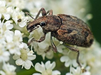 A.triguttatus