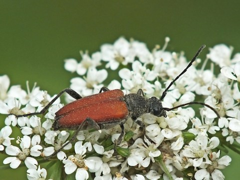 A.sanguinolenta