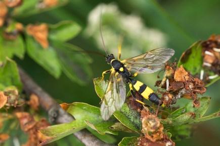 A.armatorius