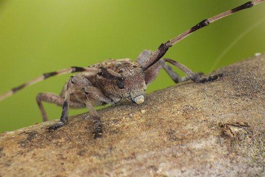 A.aedilis