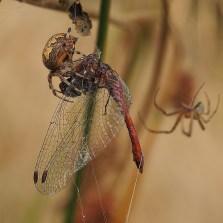 A.marmoreus