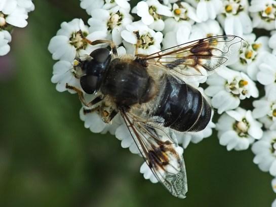 E.alpina.