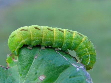 Lacanobia caterpillar