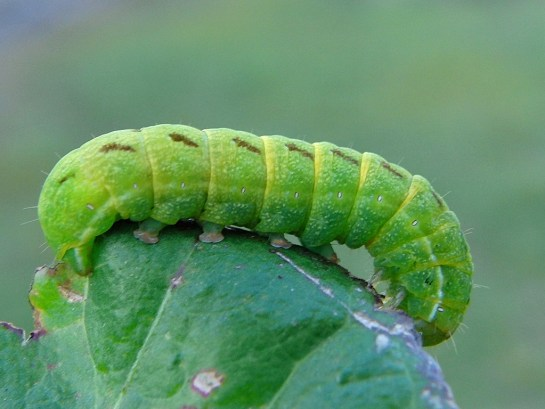 Lacanobia caterpillar