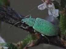 P.viridearis