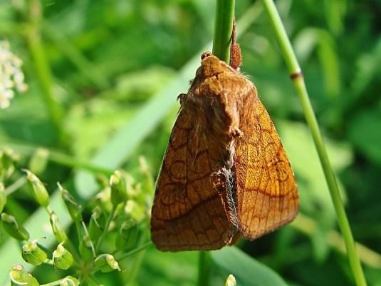 P.umbra