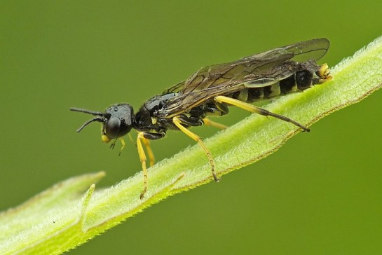 Cephus species