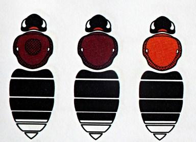 B.hypnorum - Samica