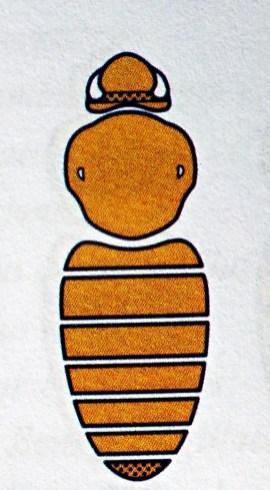 B.muscorum - Samiec