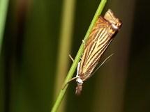 Ch. culmella