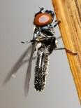 M.curvistylus