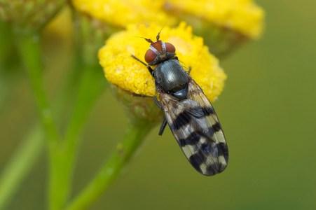 C.urticae