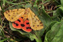R.purpurata