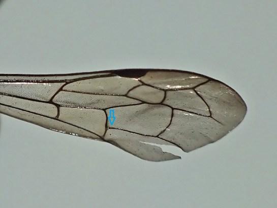 Przednie skrzydło, użyłkowanie - niebieska strzałka wskazuje prostą żyłkę CuA1