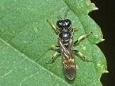 C.quadrimaculatus