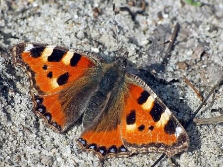 A.urticae
