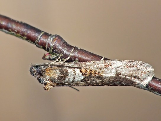 T.alternella