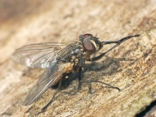 Musca female