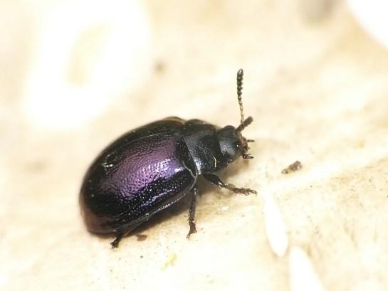 P. versicolora